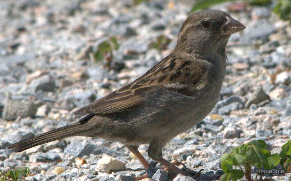 female house sparrow by memaggie