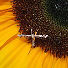 Sunflower and Moth  by AnnDixon