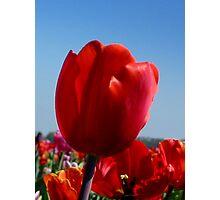 Happy Red Tulip Photographic Print