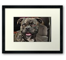 Pit Bull Pug, Canines in Cars Framed Print