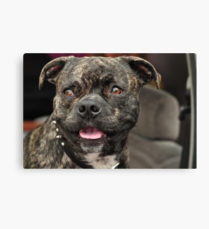 Pit Bull Pug, Canines in Cars Canvas Print