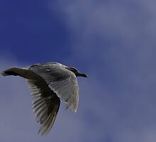 Gull Flyby by Al Williscroft