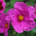 Sun rose (Helianthemum) by Agnes McGuinness