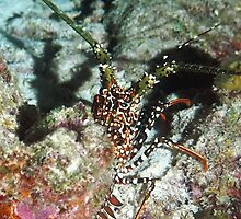 Spotted Spiny Lobster by Amy McDaniel