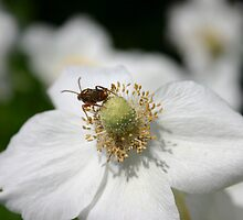 Anemone Cricket by Alyce Taylor
