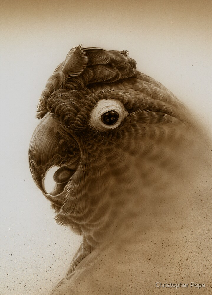 Black Cockatoo study #2 by Christopher Pope