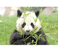 panda geant Photographic Print