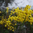 Wattles are Everywhere!! by Lozzar Flowers & Art
