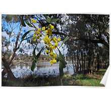 Wattle at the lake. Poster