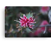 Unfolding Grevillia, pink and white.  Canvas Print