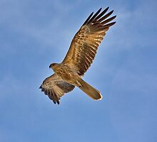 Whistling Kite Over Patonga Creek by Stephen Quennell