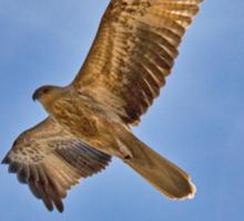 Whistling Kite Over Patonga Creek Sticker