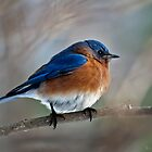 Mr Bluebird by John Rinaldi