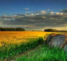 canola fields by Heath Dreger