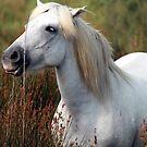white stallion by clivo