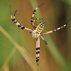 argiope spider weaving its cobweb by clivo
