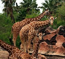 A Tower of Giraffes by Terence Russell