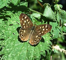 Speckled Wood Butterfly by Darron Palmer