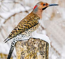 common flicker 3  2010 by RosiesPhotos