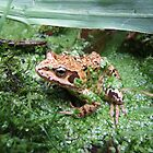 Common Frog by Darron Palmer