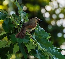 Female Cardinal with blackberry snack by AlixCollins