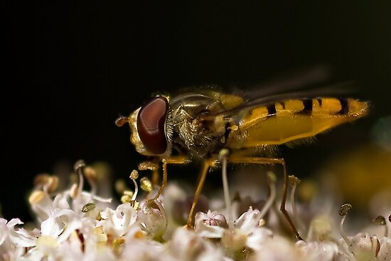 Profile of a Hover Fly by Steve  Liptrot