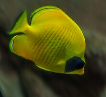 Yellow Butterflyfish by AlixCollins