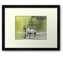 5 Cygnets In a Bunch Framed Print