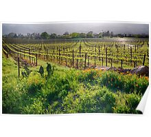 Spring Vine and Poppies in Napa Valley Poster