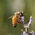 Honey Bee by psnoonan