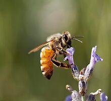 Honey Bee by psnoonan