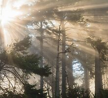 Morning Fog in the Cypress and Redwoods, Humboldt County, California by AndreaBorden