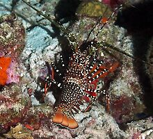 Caribbean Spotted Spiny Lobster at Night by Amy McDaniel