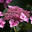 Lace-cap Hydrangea by Michael Hadfield