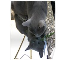 Russian Blue mirror Poster