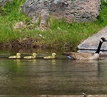 Canadian Geese and Goslings in Yellowstone by Bruce Alexander