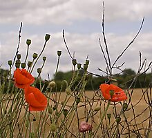 Poppies by Steve Clancy