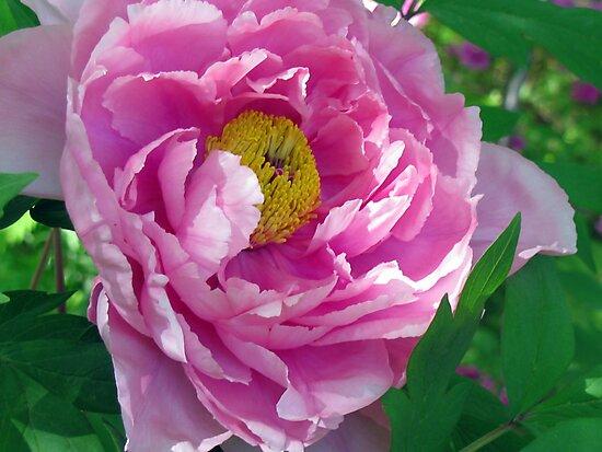 Pink Tree Peony by Betty Mackey