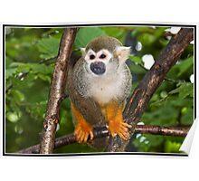 Common Squirrel Monkey Poster