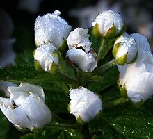 """""""Morning Dew On Wild Blackberry  Blossoms"""" by Melinda Stewart Page"""