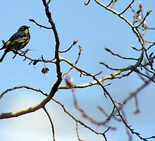 Yellow-Rumped Warbler by Bryony Griffiths