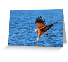 Collared Black Hawk Greeting Card