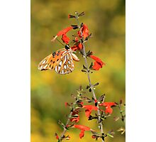 Gulf Fritillary on Red Snapdragon Photographic Print