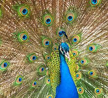 Peacock by John Peel