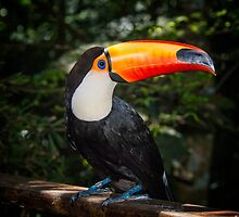 Toucan No. 2 of Iguazu by photograham