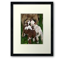 Twin Lambs Suckling From Their Mother Framed Print