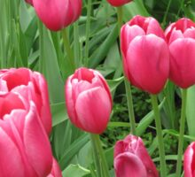 Early Spring Colorful Tulips photograph  Sticker