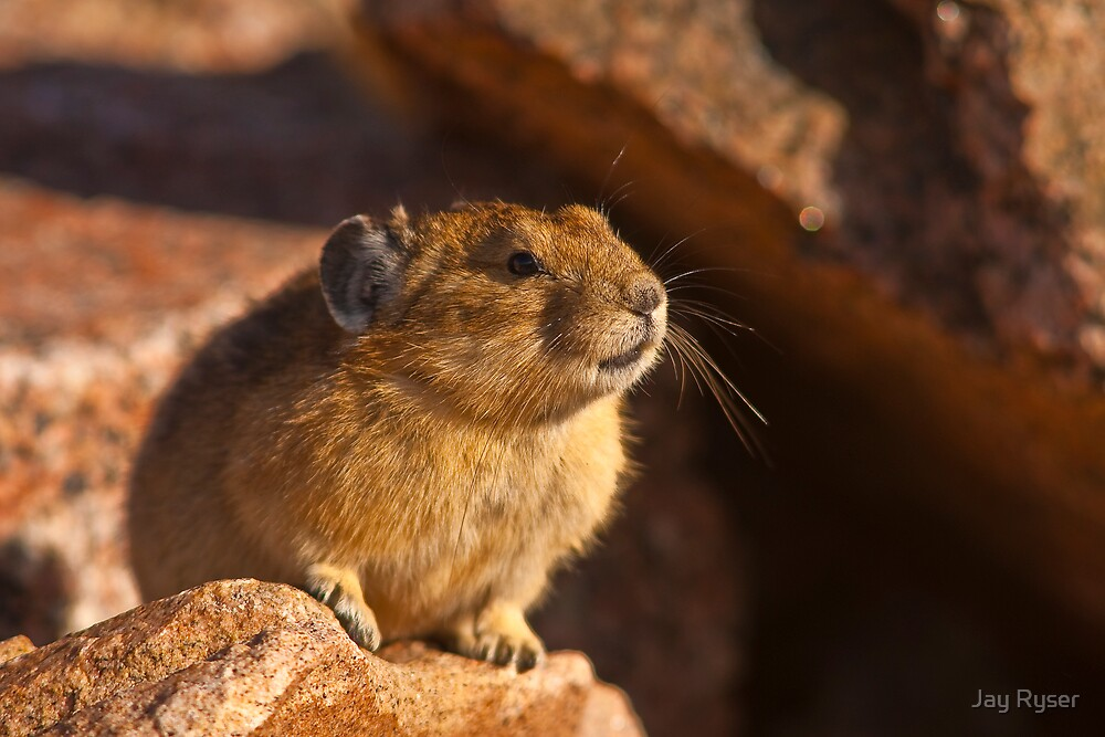 How To NOT Get An Image of a Pika Squeaking by Jay Ryser