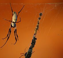 Spider in Kalbarri by iandsmith