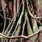 Moreton Bay fig at Copeland Tops by iandsmith